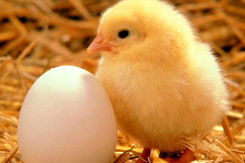 Els ous
